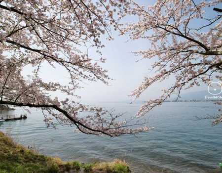 800 Cherry Trees Full Blossom at Lake Biwa