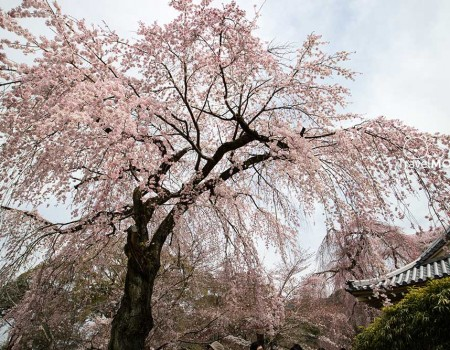 The Top Cherry Blossom Attraction in Kyoto
