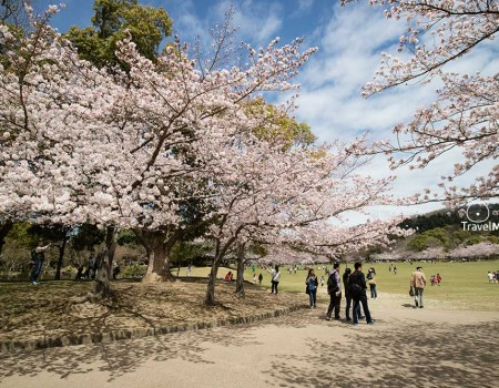 2016 Cherry Blossom Full Bloom in Nara Park