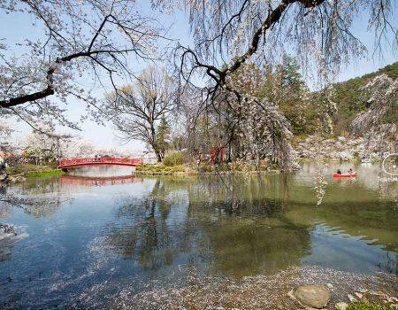 Cherry Blossom at Garyu Koen in Nagano